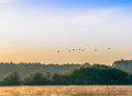 A flock of swans flying over the river early in the morning Royalty Free Stock Photo