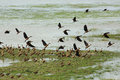Flock of teals standing on green field and flying on lake Royalty Free Stock Images