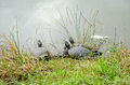 Flock turtles crawled bask in the sun on the green grass near the lake in park at villa pamphili in rome capital of italy Royalty Free Stock Image