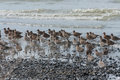 Flock of waders on pebbly beach Stock Image