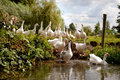 Flock of white geese entering the river Stock Photography