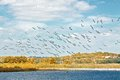 Flock of white pelicans an autumn take flight over the illinois river near starved rock state park in illinois Stock Image