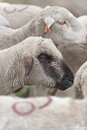 Flock of white sheep Royalty Free Stock Photography
