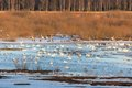 Flock of whooper swan swans swimming in the lake with ice and snow in spring Royalty Free Stock Image