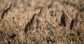 Flock of wild game birds, juvenile grey partridge.(Perdix perdix) Royalty Free Stock Photo
