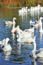 Flock of wild geese on lake noisy white swimming Stock Images