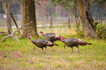 A flock of wild Osceola turkeys in Florida Stock Photography