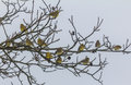 Flock of yellowhammers sitting on tree branches in winter yellow hammers naked Royalty Free Stock Image
