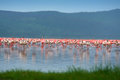 Flocks of flamingo Royalty Free Stock Photo