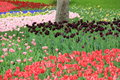 Floer garden the flower bed where the tulip of various colors blooms Royalty Free Stock Photography