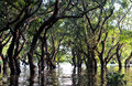 Flooded forest of mangrove trees Royalty Free Stock Photo