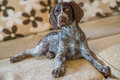 Floppy eared german shorthaired pointer sits on sofa and looked carefully a loveley dog Royalty Free Stock Image