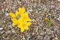 Flor amarilla - azafrán (azafrán amarilla) Imagenes de archivo