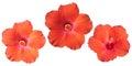 Flor anaranjada del hibisco del aislamiento Fotografía de archivo libre de regalías