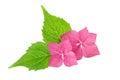 A flor cor de rosa com a folha verde da hortênsia floresce Fotografia de Stock