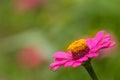 Flor cor de rosa da palha Fotografia de Stock