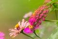 Flor cor de rosa da palha Fotos de Stock Royalty Free