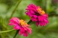 Flor cor de rosa da palha Imagens de Stock Royalty Free