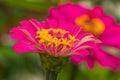 Flor cor de rosa macro da palha Fotos de Stock