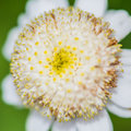 Flor de Feverfew Fotos de Stock Royalty Free