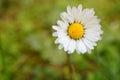 Flor de los perennis del bellis Fotos de archivo