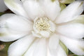 Flor del cacto Imagen de archivo