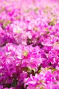 Flor do Bougainvillea Fotos de Stock Royalty Free