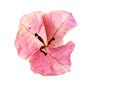 Flor do Bougainvillea Imagem de Stock
