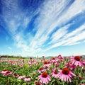 Flor do cone no campo Fotografia de Stock Royalty Free