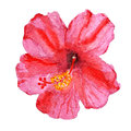 Flor do hibiscus Fotos de Stock Royalty Free