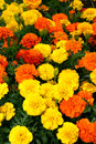 Flora bright yellow orange red flowers a flower display picture Royalty Free Stock Image