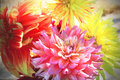 Floral background of autumn dahlias. Royalty Free Stock Photo