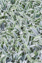 Floral background, ground cover plant fluffy leaves, Stachys woolly Stahis Royalty Free Stock Photo