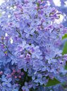 Floral background lilac flowers