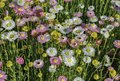 Floral background of multicolored daisies on sunset meadow Royalty Free Stock Photo
