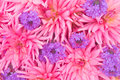 Floral background of pink dahlias and purple garden flowers Royalty Free Stock Photo