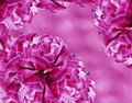 Floral background. Pink-white  flowers tulips.  floral collage.  Flower composition. Royalty Free Stock Photo