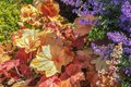 Floral background with pretty purple flowers against a bush with yellow and orange leaves in a flower garden - selective focus Royalty Free Stock Photo