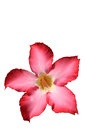 Floral background. Tropical flower Pink Adenium. Desert rose. Royalty Free Stock Photo