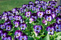 Floral background  viola pansies on grass Royalty Free Stock Photo