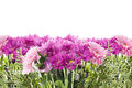 Floral border with pink flowers isolated banner Stock Photos