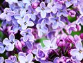 Floral bright background from lilac flowers. Royalty Free Stock Photo