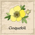 Floral card with yellow cinquefoil flower on grunge background. Royalty Free Stock Photo