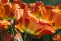 Floral fire orange tulip blossoms on Royalty Free Stock Photos