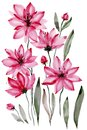 Floral illustration. Beautiful pink flowers with black stamens isolated on white background. Watercolor painting. Royalty Free Stock Photo