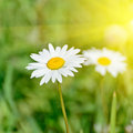 Floral nature daisy abstract background Royalty Free Stock Photo
