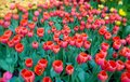 Floral landscape with a red tulips flowerbed Royalty Free Stock Photo