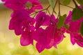 Flores bonitas de Israel Imagens de Stock