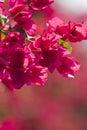 Flores bonitas de Israel. Fotografia de Stock Royalty Free