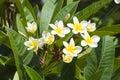 Flores bonitas de Israel. Imagens de Stock